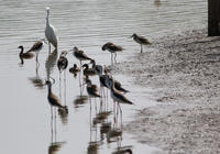 彩の国のアオアシシギ - 鳥見って・・・大人のポケモン
