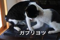 にゃんこ劇場「ねこ相撲」 - ゆきなそう  猫とガーデニングの日記