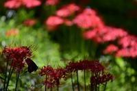 赤と黒蝶 ~終~ - 一歩々々 ~いっぽいっぽ~