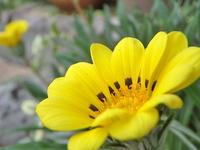 秋に黄色いガザニア - Hair Produce TIARE