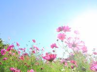 2018秋桜 - Pastel color