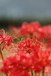 紅花郷愁 - ♪一枚のphotograph♪
