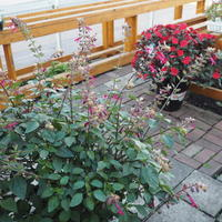 今年のお天気はびっくりでした。 - sola og planta ハーバリストの作業小屋