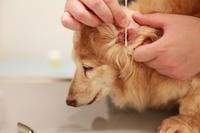 18歳のダックスさん  トリミング - 宮城県富谷市明石台  くさか動物病院ブログ