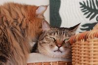 猫を嗅ぐ猫 - きょうだい猫と仲良し暮らし