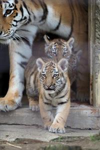 3頭のアムールトラの赤ちゃん - 動物園放浪記