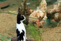 仔猫と鶏さん - 愛にゃんブログ