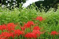 そばの花と彼岸花 - ~葡萄と田舎時間~ 西田葡萄園のブログ