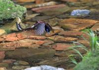 サンコウチョウの水浴び - 『彩の国ピンボケ野鳥写真館』