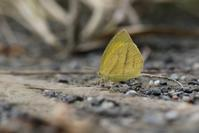 ツマグロキチョウの蛹探し - 蝶超天国