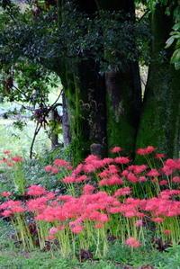 木の周りのヒガンバナ - 平凡な日々の中で