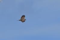 サシバは旋回する - 野鳥公園