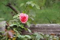 初秋のローズガーデン~東武トレジャーガーデン Ⅲ - 季節の風を追いかけて