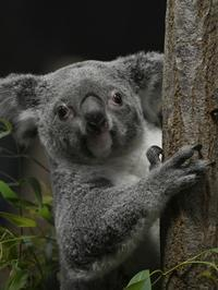 ひかりのコアラに会うために、私はみんなの夢の中 - bonsoir
