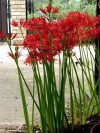 異常な夏の後に異様によく咲いた彼岸花@私の庭 - Baking Daily@TM5