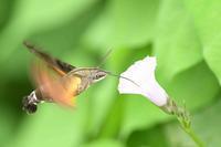 「ホウジャク」特集 - zorbaの野鳥写真と日記