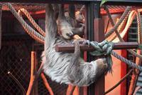 ナイトズー2018~母親を追いかけ・・・れないナマケモノっ仔「もみ」と黄昏カピバラ(埼玉県こども動物自然公園) - 続々・動物園ありマス。