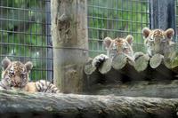 遊ぶ赤ちゃんトラ - 動物園放浪記