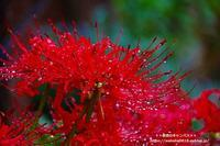 秋雨の下で咲く彼岸花は雫たっぷり(^^♪ - 自然のキャンバス