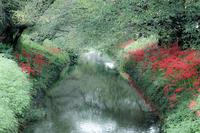 雨の日の彼岸花- 高草川 - - やきつべふぉと