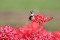 彼岸花とチョウたち(1) - 野山の住認たちⅡ
