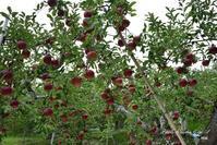 赤いリンゴに・・・ - フォト エチュード  Photo-Etudes