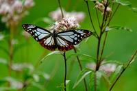 蝶(雪国植物園) - くろちゃんの写真