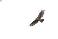 周りを気にして飛んでるノスリ - 野鳥公園