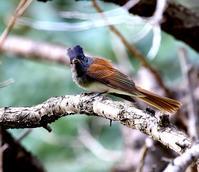 飛び回っていたサンコウチョウ・・・ - 一期一会の野鳥たち