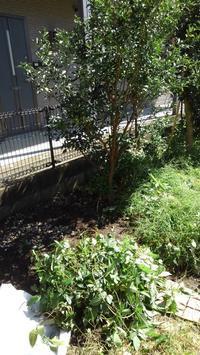 金柑がまたヤブガラシお化けに - うちの庭の備忘録 green's garden
