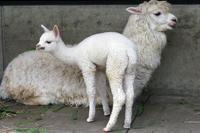 白くてフワフワアルパカの赤ちゃん - 動物園放浪記