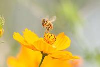 先日淀川で蜜蜂撮りました。 - 写真で楽しんでます! スマホ画像!