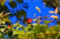 朝散歩、開花マルバルコウソウに会えた! - 気ままにデジカメ散歩