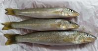 巨大な魚とナスの味噌田楽 - アデレードの片隅で2