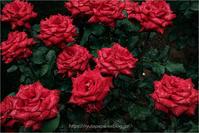 秋の薔薇 - りゅう太のあしあと