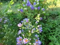紫苑 - 家の周りの季節感