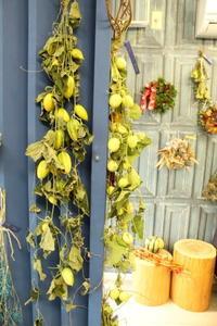 今年もまた茨城産カラスウリ - 北赤羽花屋ソレイユの日々の花