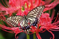 彼岸花にアゲハチョウ - 生きる。撮る。