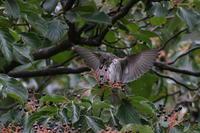 渡りの立ち寄りのエゾビタキ実を取ろうとするが - 私の鳥撮り散歩