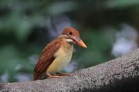 アカショウビン(幼鳥) Ⅲ 朝食は逆光で枝被り - 気まぐれ野鳥写真