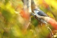 シロハラゴジュウカラ - 北の野鳥たち