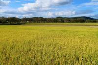 黄金色の大地 - ~葡萄と田舎時間~ 西田葡萄園のブログ