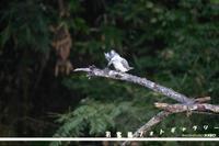 お客様ギャラリーヤマセミ - 野鳥大好き写真館|オオタケカメラ