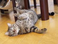 猫のお留守番 しぐれくん編。 - ゆきねこ猫家族