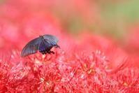 彼岸花 と チョウたち(2) - 野山の住認たちⅡ