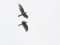 サシバが飛ぶ飛ぶ白樺峠 - コーヒー党の野鳥と自然 パート2