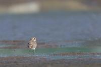 メダイチドリオオグンカンドリ幼鳥の合い間に - 夫婦でバードウォッチング
