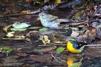 複数の小鳥が仲良く水浴び - 上州自然散策2