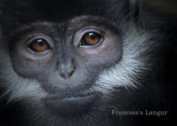 フランソワルトン:Francois's Langur - 動物園の住人たち写真展