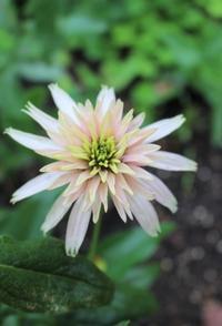老若男女パラダイスのエキナセア - HOME SWEET HOME ペコリの庭 *